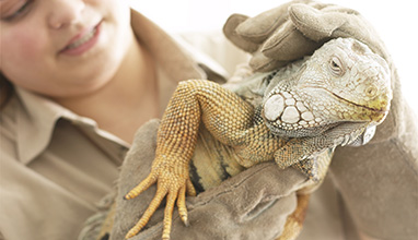 Woman zoologist holding a reptile with gloves